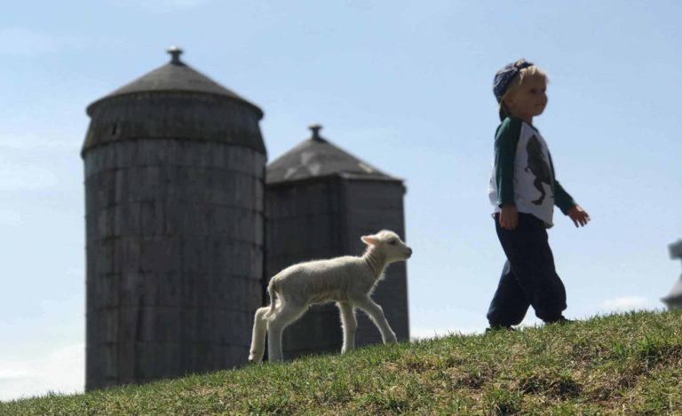 A boy and a lamb walk by the pasture at Hancock Shaker Village.