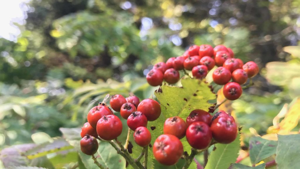 Mountain ash shows late summer berries at the summit of Mount Greylock.