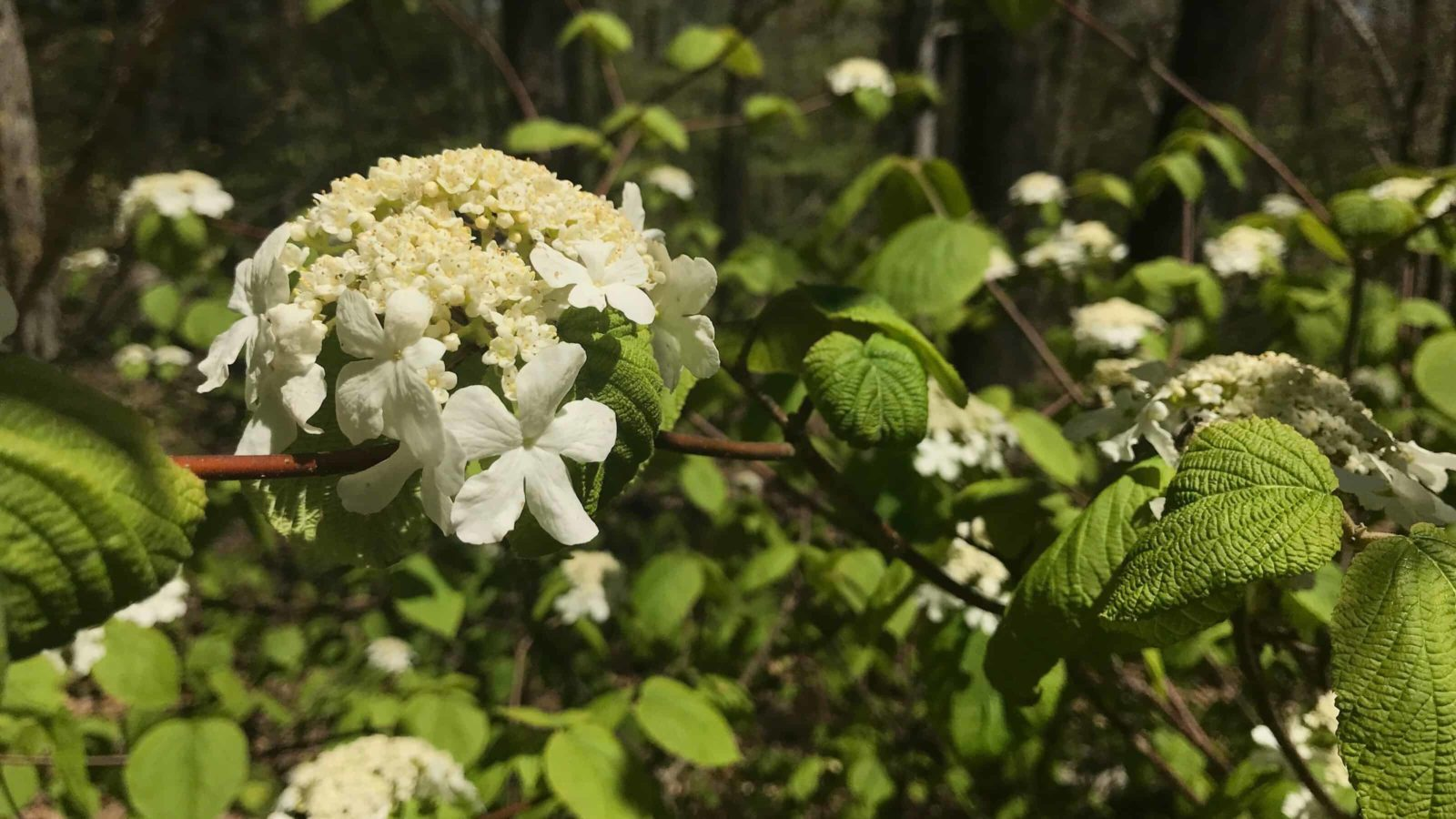 Native shrubs bloom on the slopes of Lenox Mountain at Mass Audubon's Pleasant Valley Sanctuary.