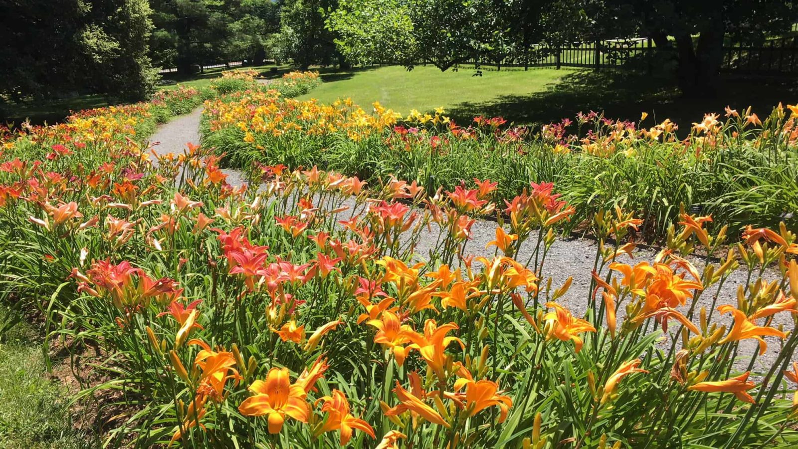 Day lilies bloom at the Berkshire Botanical Garden in Stockbridge.