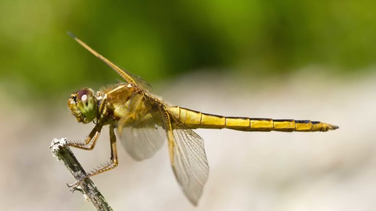 A golden dragonfly perches on a stem. Public domain photo