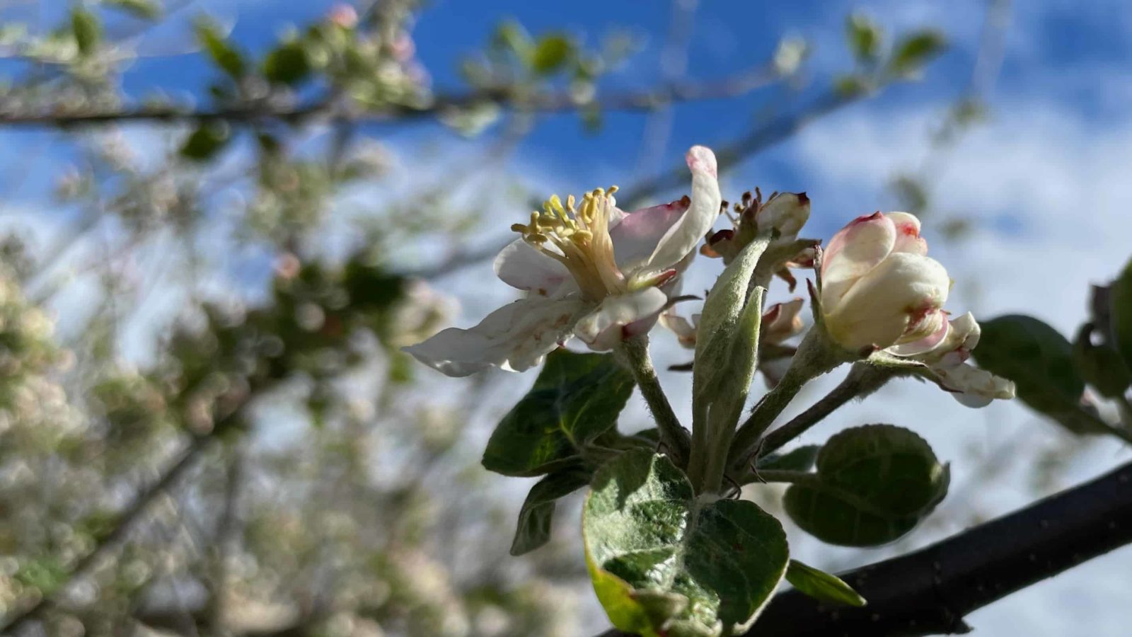Apple trees bloom at Hilltop Orchards in Richmond.