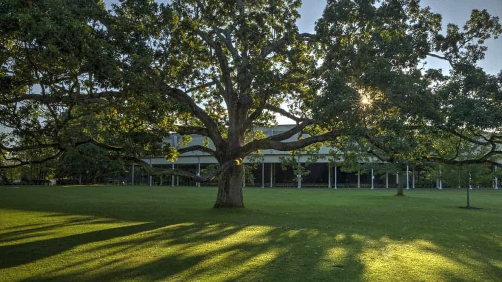 Morning light glimmers around the spreading tree on the Tanglewood lawn. Press photo courtesy of the Boston Symphony Orchestra.